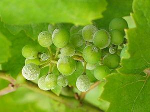 Болезни виноградной лозы. Мучнистая роса, или оидиум