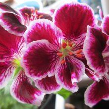 Комнатные растения: пеларгония