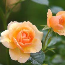 Выращивание роз — основные моменты