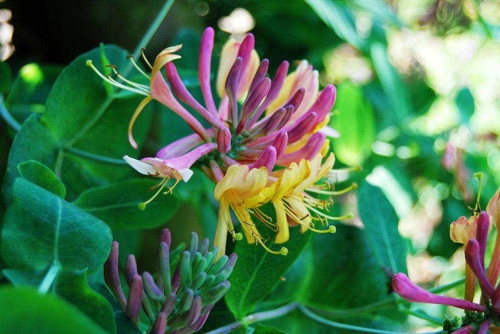 Жимолость: цветы